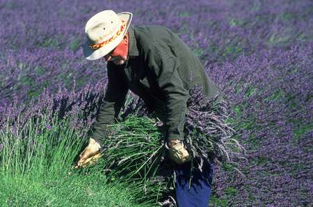"Lavender near Sault, ""the blue country"""